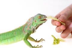 Free Green Iguana Royalty Free Stock Images - 23495529