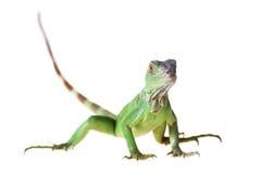 Free Green Iguana Royalty Free Stock Images - 23622759
