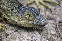 Green iguana stock image
