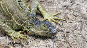 Green iguana Royalty Free Stock Photos