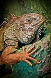 Green iguana. Portrait of a large green iguana Royalty Free Stock Images