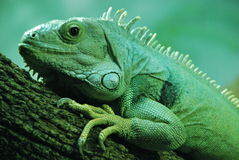 Green iguana. Close-up of a green iguana on a tree branch Stock Images