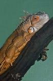 Green Iguana. (iguana iguana) taking on an orange form Royalty Free Stock Photography