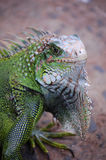 Green Iguana. A close up of a Green Iguana royalty free stock image