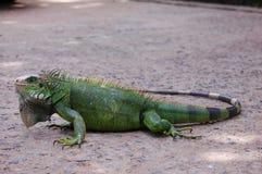 Green Iguana. A full body Green Iguana stock image