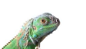 Free Green Iguana Stock Photos - 33938113