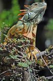 Green iguana. Curious green iguana looking down from the trees in Mexico Stock Photography