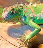 Green Iguana 6. Green iguana on the branch royalty free stock image