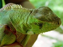 Green Iguana. Side portrait of green Iguana outdoors Stock Photography