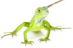 Green Iguana. (iguana iguana) on white background Stock Photo