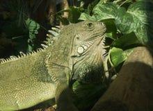 Green iguana. On log royalty free stock photos