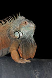 Green Iguana. Male Green Iguana (Iguana iguana) Showing Breeding Colors Royalty Free Stock Images