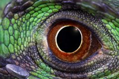 Green iguana. A macro of the eye of a great green iguana stock images