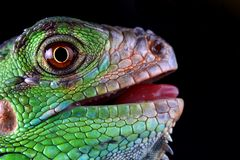 Green iguana. Portrait of a great and beautiful green iguana Stock Images