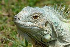 Green Iguana. Portrait of green Iguana outdoors Stock Images