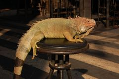 Green iguana abused for entertainment Stock Photography