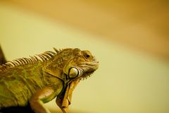 Green iguana, also known as American iguana, is a large, arboreal, lizard. Found in captivity as a pet due to its calm disposition. And bright colors. Exotic royalty free stock images