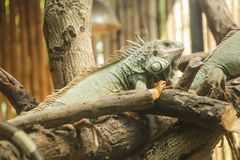 Green iguana Iguana iguana, also known as American iguana, is a large, arboreal, lizard. Found in captivity as a pet due to its. Calm disposition and bright royalty free stock photos