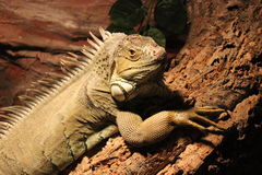 Green iguana. Green iguana also known as American iguana laying on a bark of a tree in a terrarium stock photos
