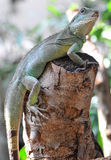 Green Iguana. The green iguana, also known as common iguana or American iguana, is a large, arboreal, mostly herbivorous species of lizard of the genus Iguana stock images