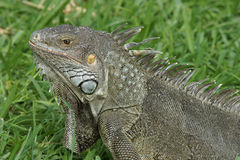 Green Iguana, Aruba, ABC Islands Stock Photos
