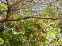 Green Iguana Basking on Branch in Costa Rica Stock Photography