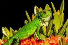 Green Iguana. A Green Iguana basking in a bush in Costa Rica Stock Image