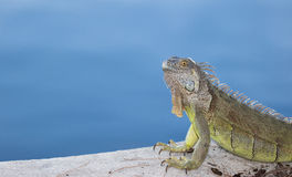 Green Iguana basking in the morning sun. Green Iguana with urate salt on his head basking in the morning sun in South Florida Stock Photos