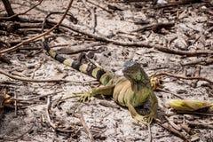 A green Iguana basking in the sun Royalty Free Stock Photo