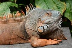 Green iguana basks in the sun stock photos