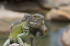 Green Iguana bathing in the sun, aruba Royalty Free Stock Photography