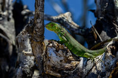 Green iguana, big pine key Royalty Free Stock Image