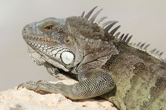 Green Iguana - Bonaire Royalty Free Stock Photo