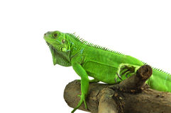 Green Iguana on a branch Royalty Free Stock Image