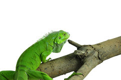 Green Iguana on a branch Stock Images