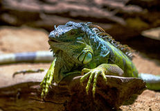 Green Iguana on branch. stock photography