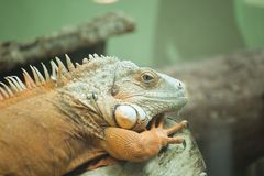 Green Iguana on branch. The Green Iguana on branch royalty free stock photography
