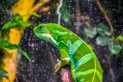 Green iguana on a branch stock image
