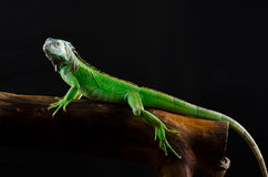 Green iguana on branch Royalty Free Stock Photography