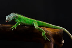 Green iguana on branch Stock Photos