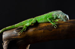 Green iguana on branch Royalty Free Stock Image