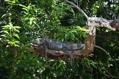 Green iguana on branch stock image