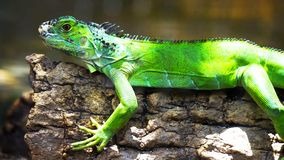 Green iguana on a branch // one green iguana lizard .reptile sit royalty free stock photography