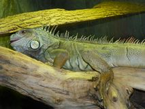 Green Iguana on branch at the zoo. The green iguana, also known as the American iguana, is a large, arboreal, mostly herbivorous species of lizard of the genus Royalty Free Stock Photos