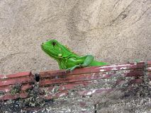 Green iguana on brick wall. A green Brazilian iguana on a short brick wall stock photography