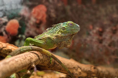Green iguana on a brown background Royalty Free Stock Photos