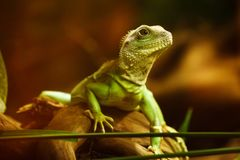 Green Iguana on Brown Wood Stock Photos