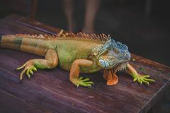 Green Iguana On Brown Wooden Table Royalty Free Stock Photo