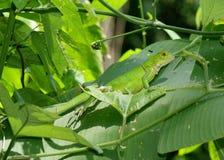Green Iguana camouflaged on banana leaves Stock Photo