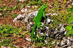 Green Iguana Caught Eating Lunch Stock Photo